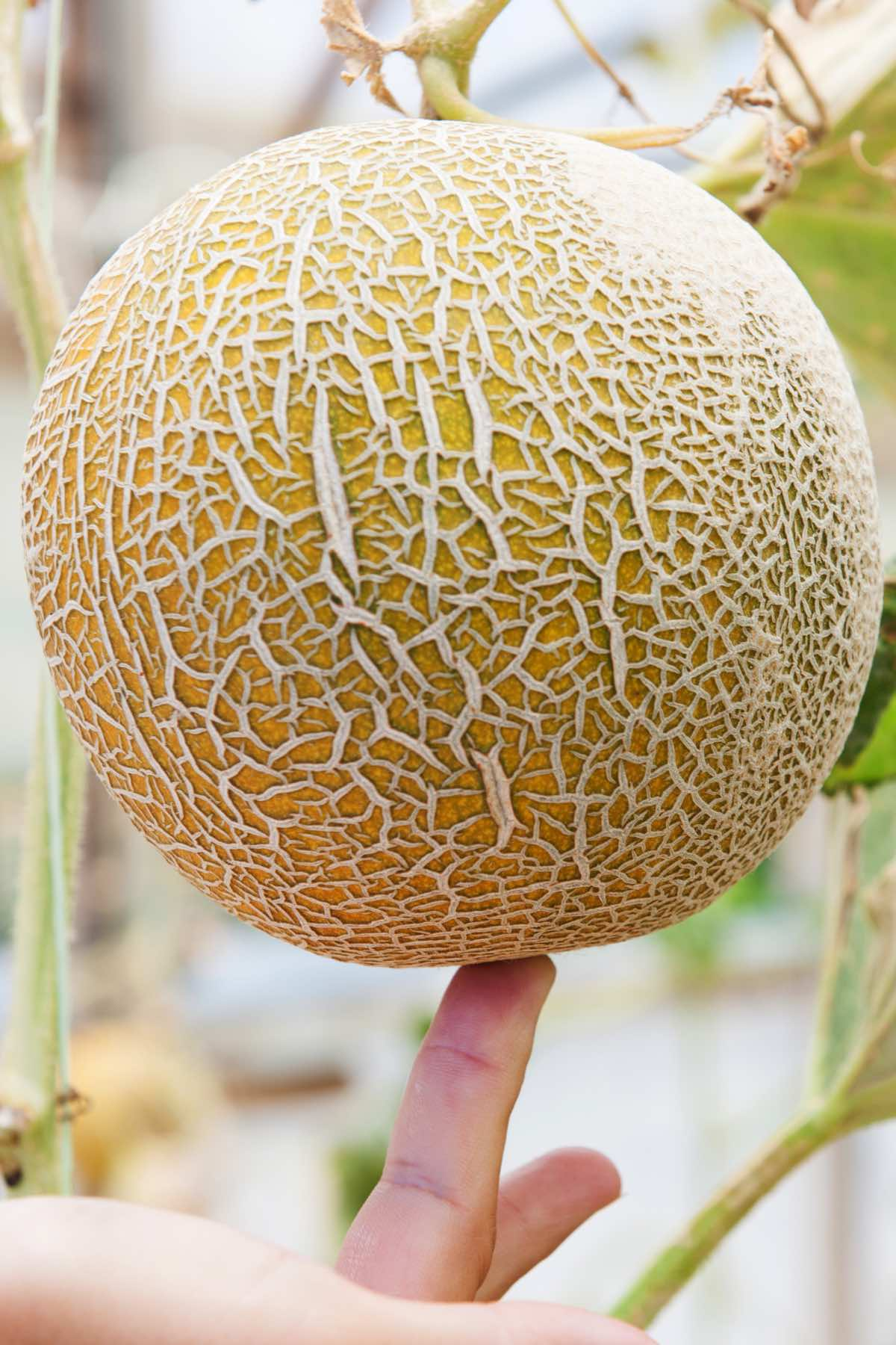 Determining how to tell is a cantaloupe is ripe by checking firmness to the touch