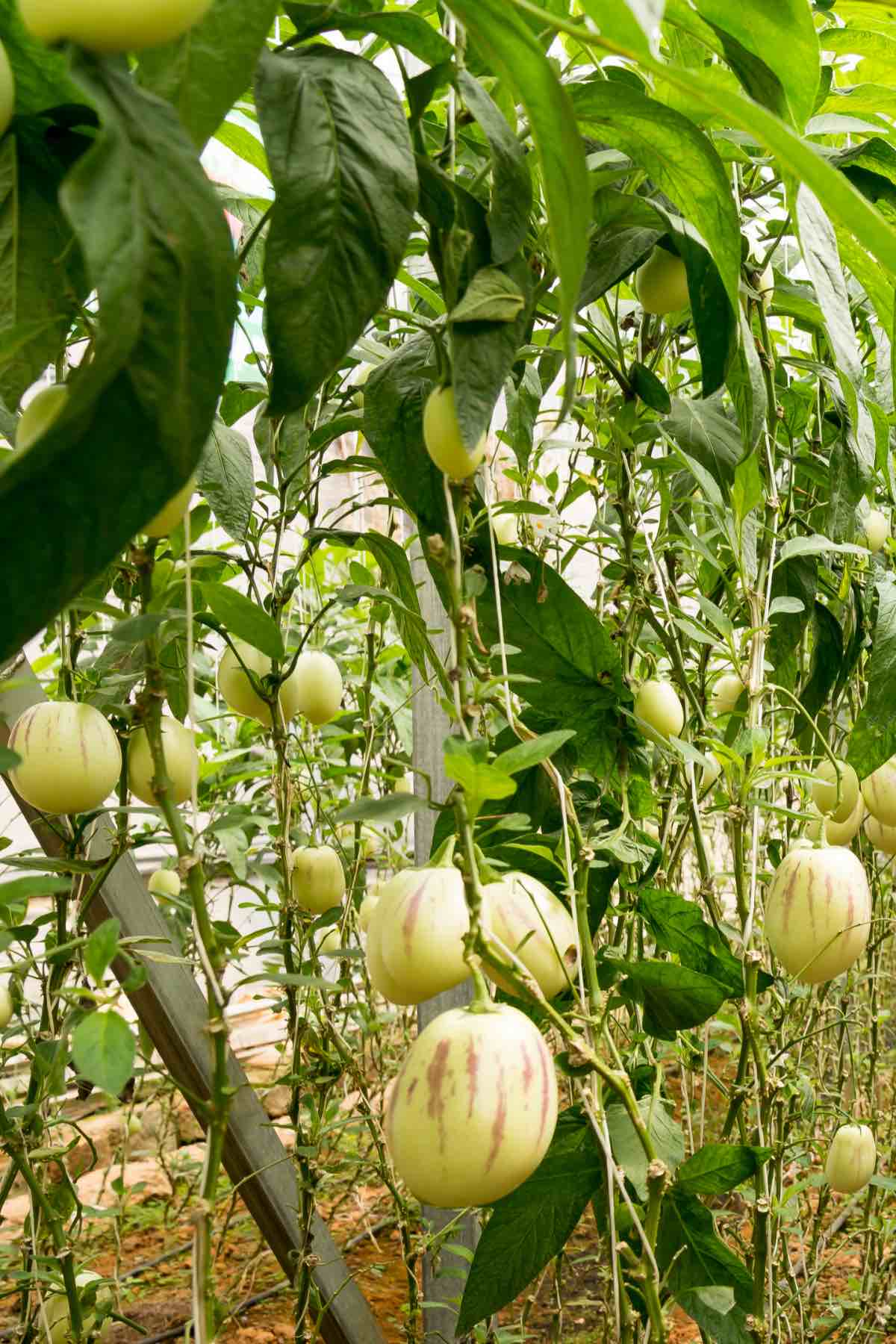 The pepino melon plant with fruits ready for harvesting