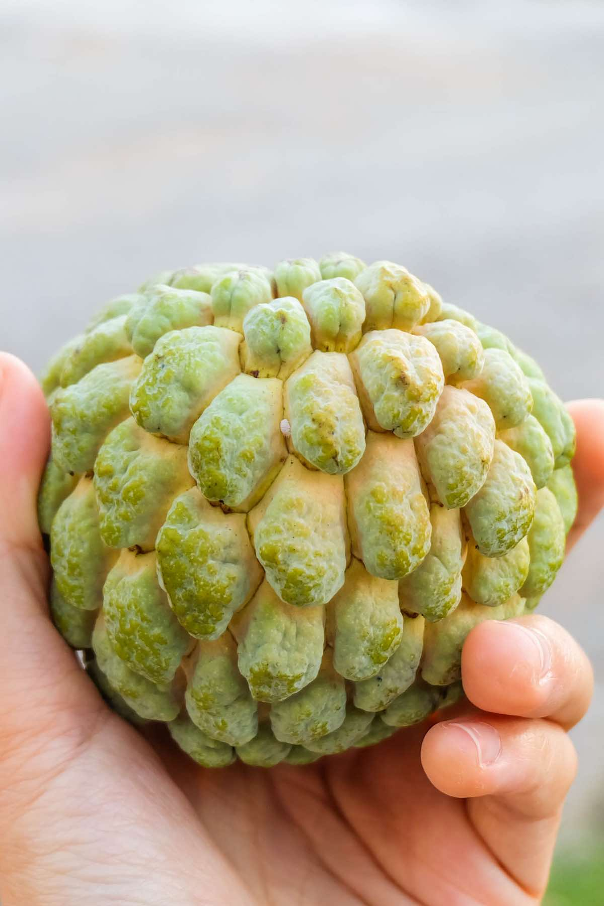 Closeup view of a custard apple with knobby green skin